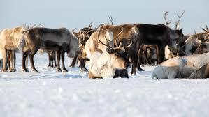 Reindeer4