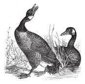 goose4