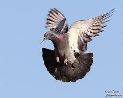 pigeonflight