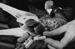 war-pigeon-messenger